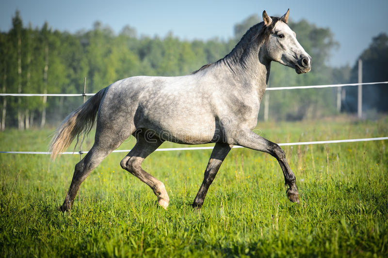 White horse runs trot on the meadow