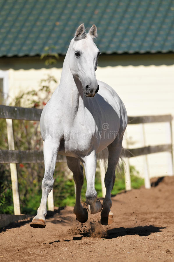 Download White Horse Runs Trot In Summer Stock Image - Image: 21292099
