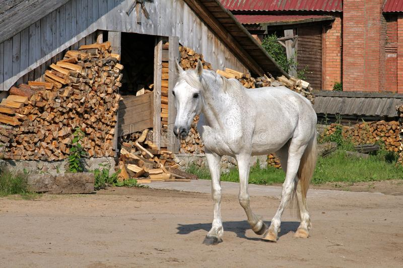 White horse on a rural yard royalty free stock photo