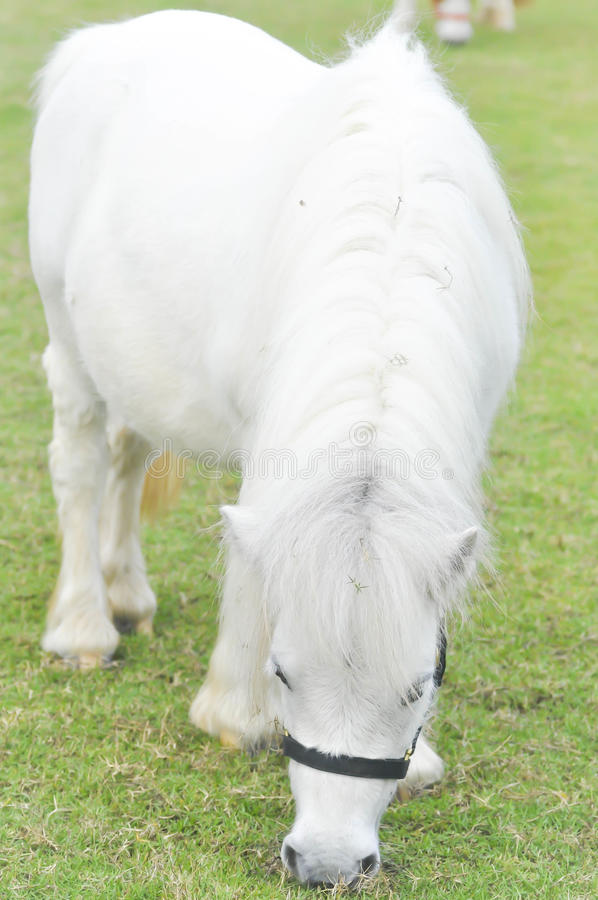 White horse`s eating some grass on the farm royalty free stock photo