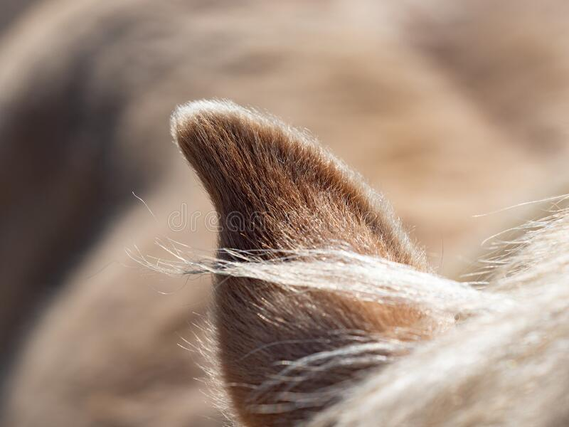 White horse`s sharp ear and mane. The red golden  mane stock image