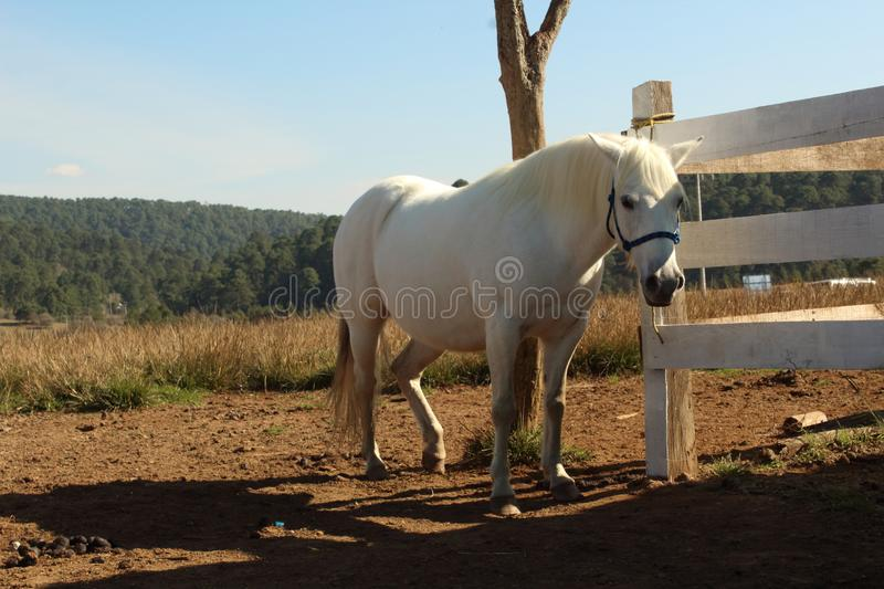 White horse Seeing outside the horse pen royalty free stock photos