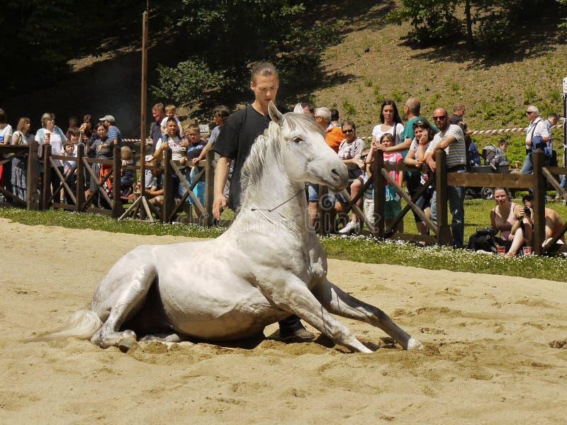 White Horse Sitting Dressage royalty free stock photography