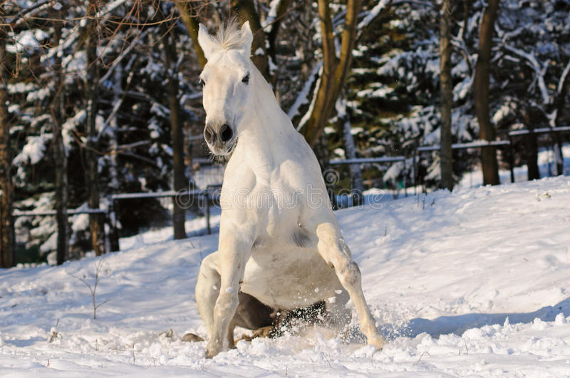 White horse is sitting in snow royalty free stock photo