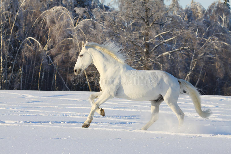 Download White horse in snow stock photo. Image of cold, freedom - 17763804