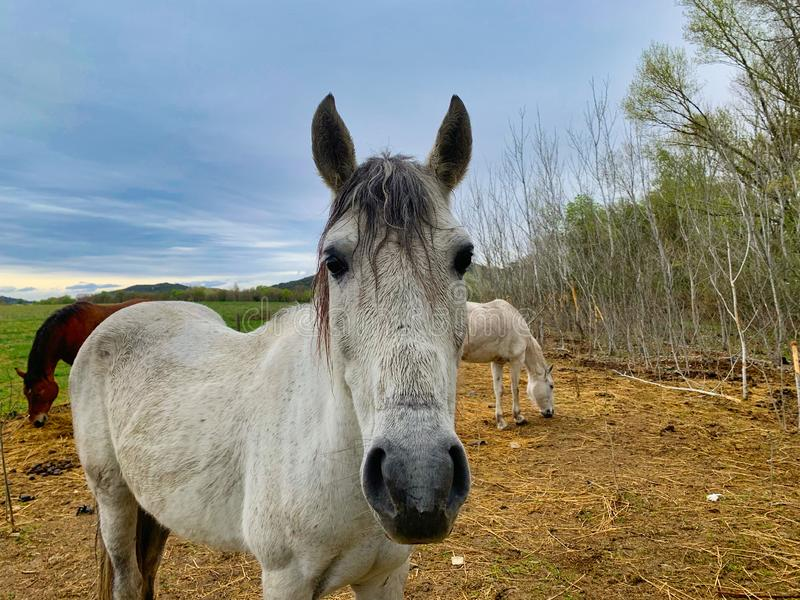 White horse from south of France stock photos
