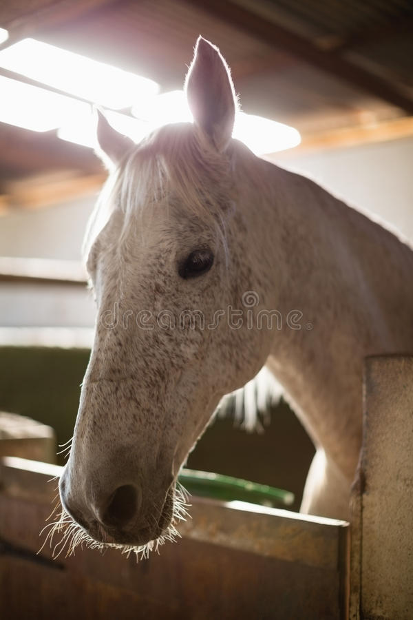 White horse in the stable. Close-up of white horse in the stable stock photos