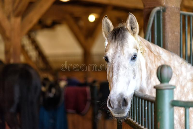 Horse in a stable on a farm in eastern Poland. White horse in a stable on farm in eastern Poland in Europe stock photo