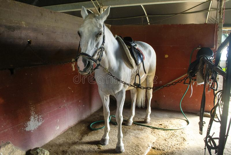 White horse in the stables stock photography