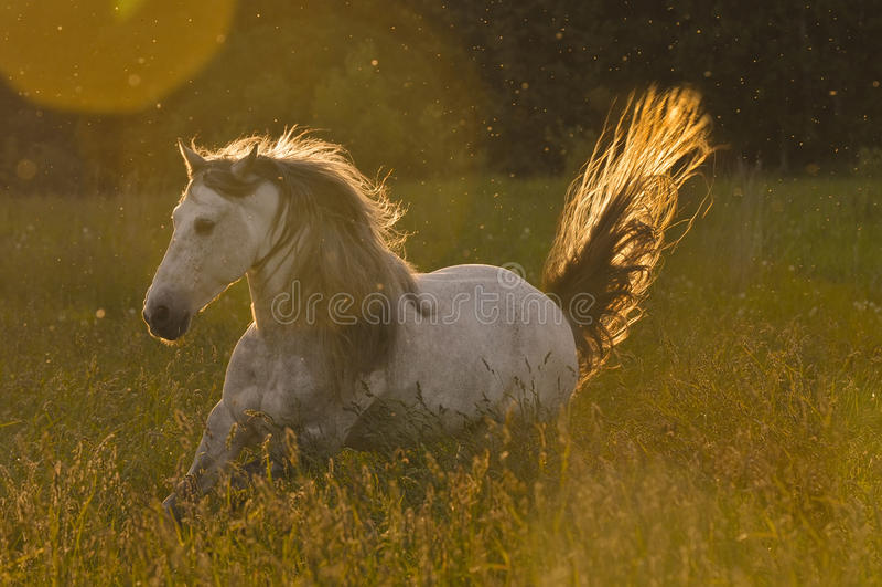 White horse stallion in golden light. Run gallop royalty free stock photos