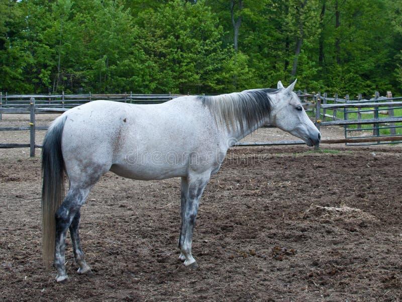 White Horse Standing Stock Image