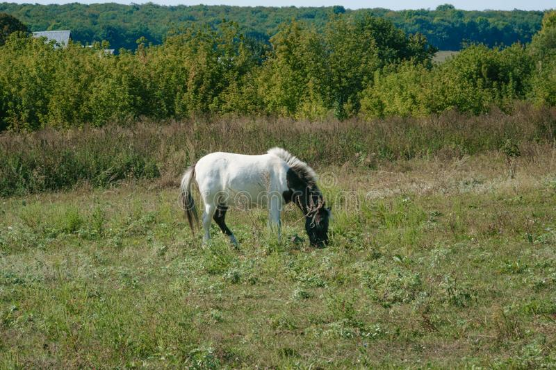 white horse standing in the field eating grass royalty free stock image