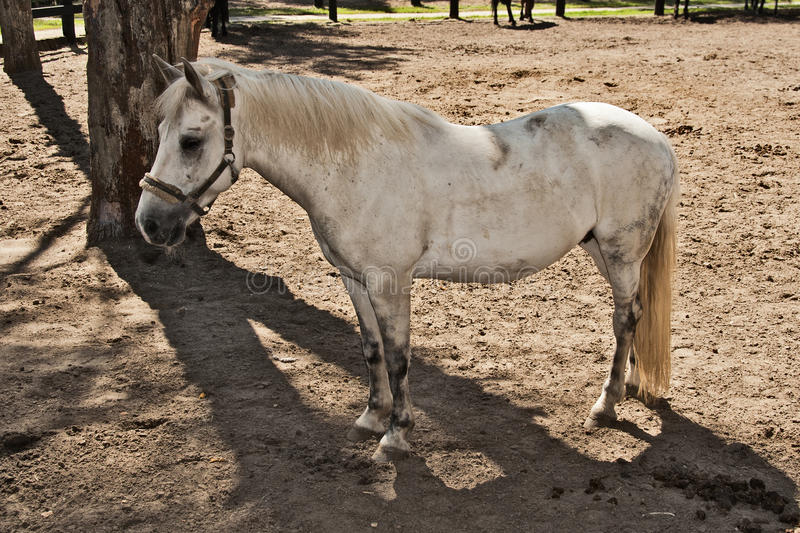 White Horse Suit Royalty Free Stock Photography