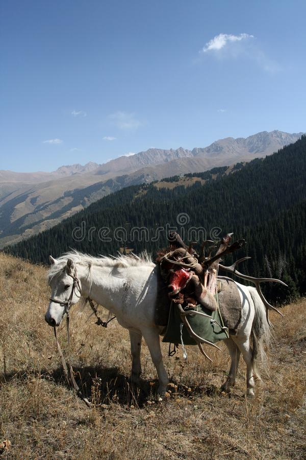 White horse with trophy deer after hunt in the mountains. A white horse with a trophy deer after a hunt in the mountains of Tien Shan. A horse with a load of royalty free stock image