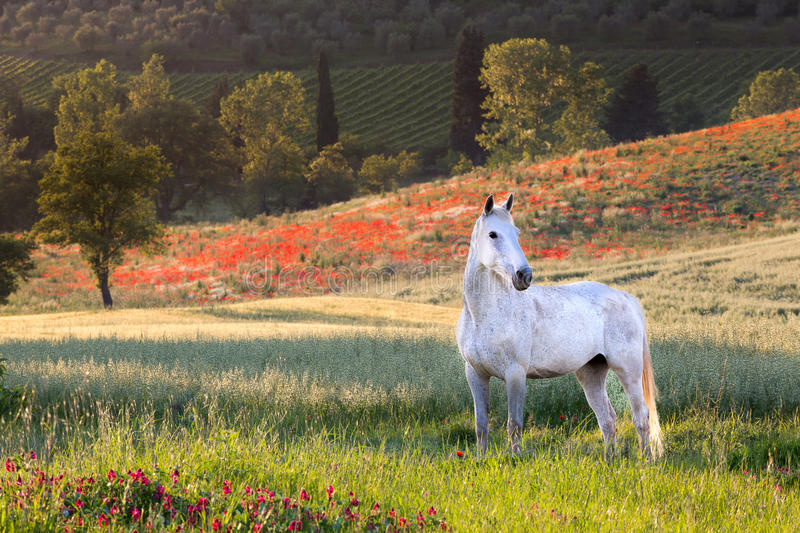 White horse in Tuscany stock photography