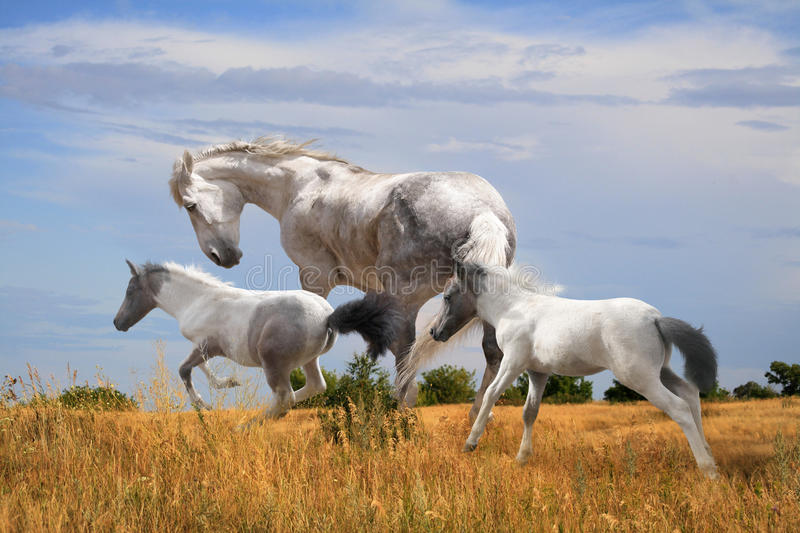 White horse with two foals stock photography