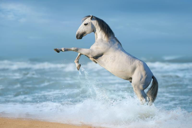 White horse in water royalty free stock images