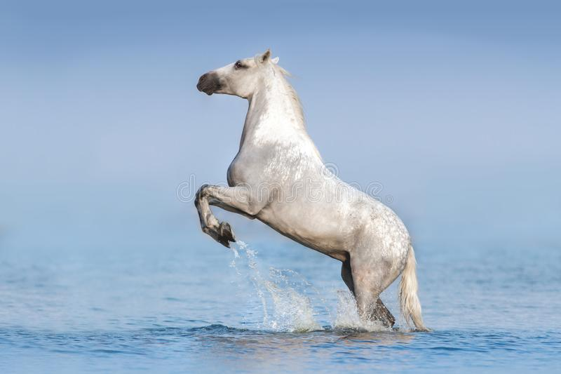 White horse in water stock image