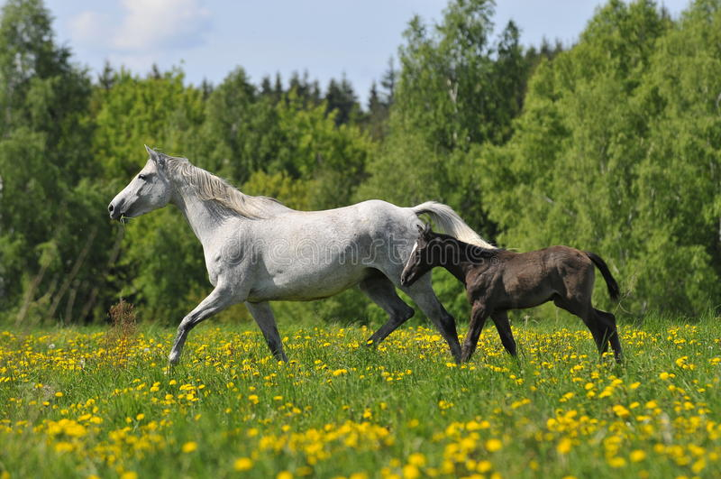 Download White Horse Whith Foal Trots On The Meadow Stock Image - Image: 9711491