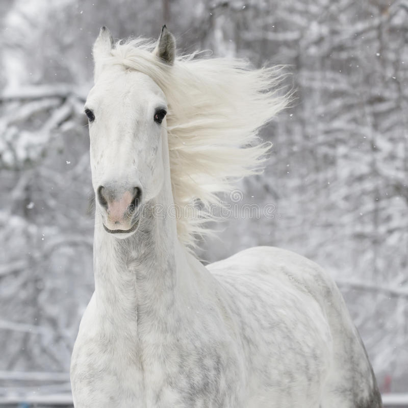 White horse in winter stock photo
