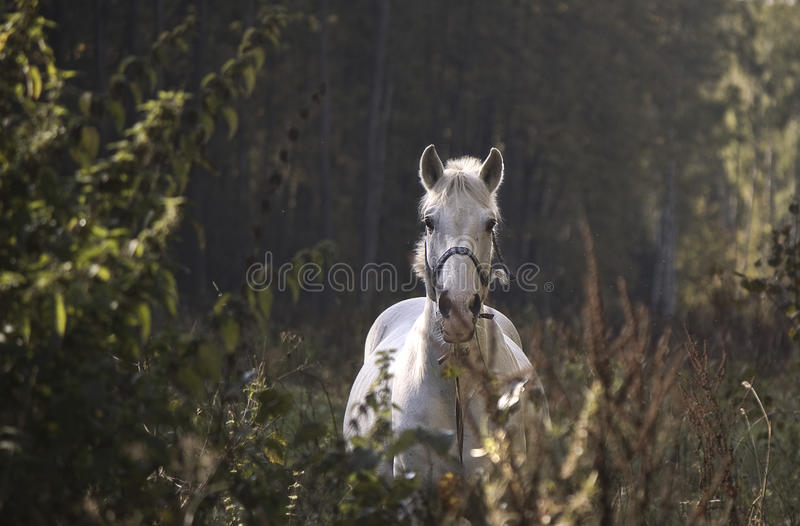 white horse in the wood royalty free stock photography