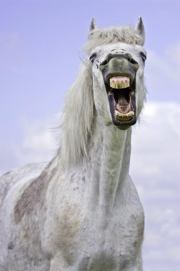 White horse yawning royalty free stock image