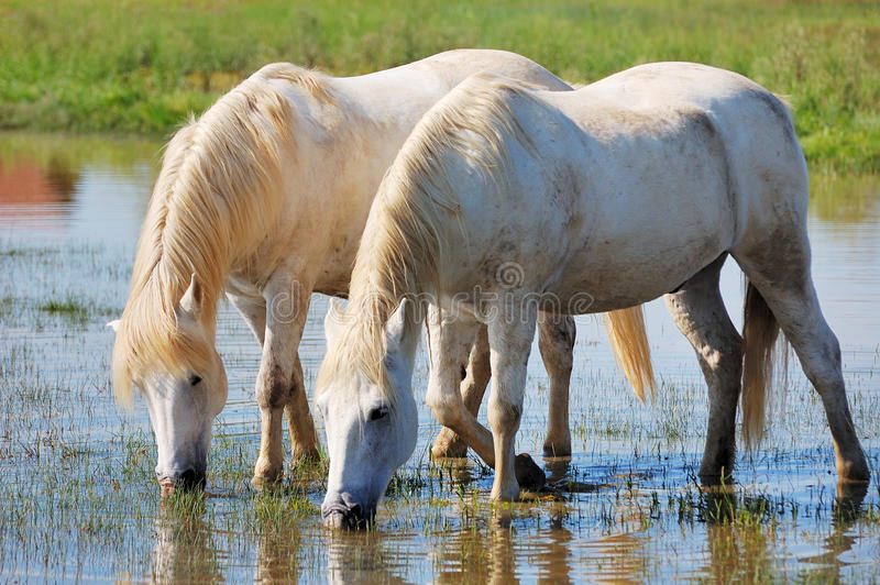 Download White horses stock image. Image of equine, drink, camargue - 10837009