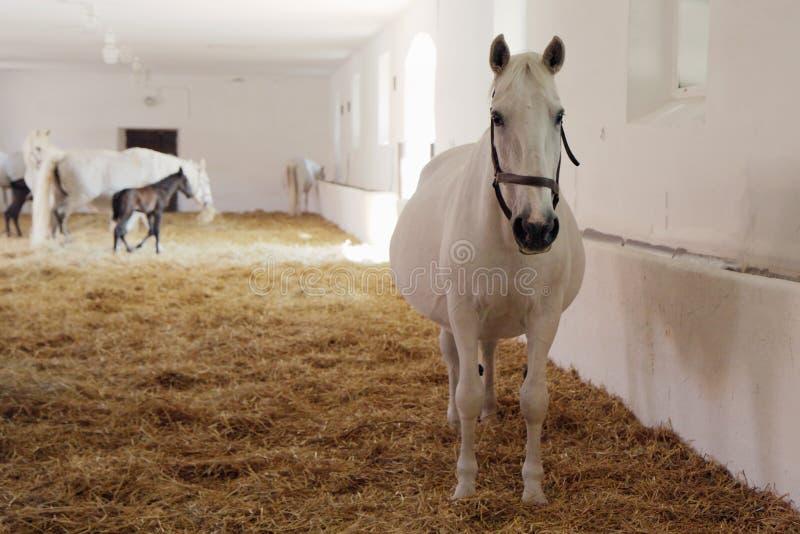 White horses royalty free stock images