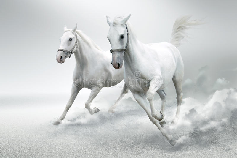 Download White horses stock image. Image of fast, manipulation - 19755439
