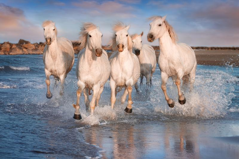 White horses in Camargue, France stock images
