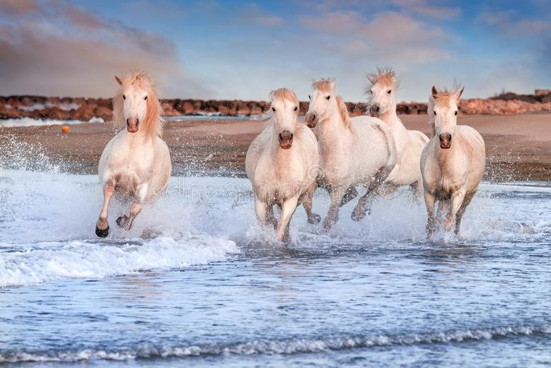 White horses in Camargue, France stock image