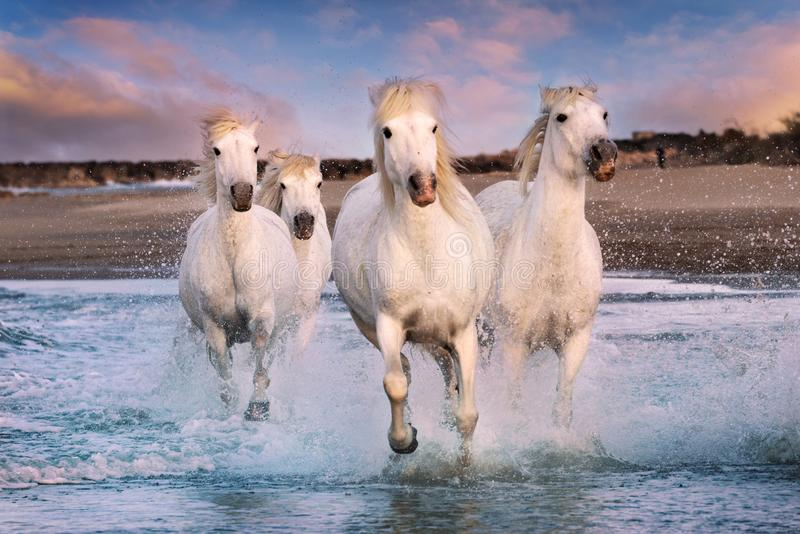 White horses in Camargue, France stock photography