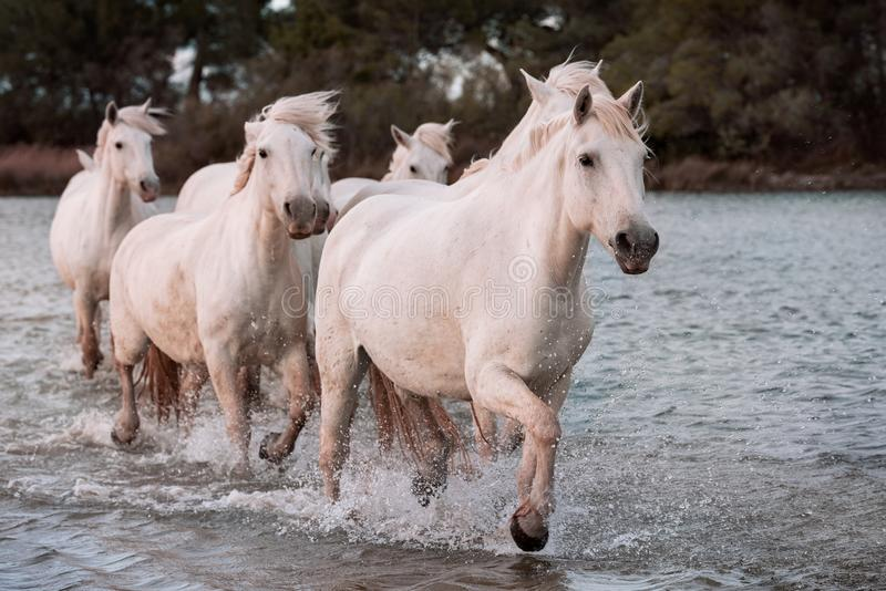 White horses in Camargue, France royalty free stock image