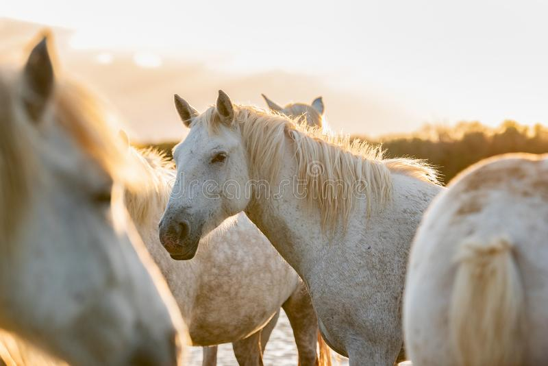 White horses in Camargue, France royalty free stock photography