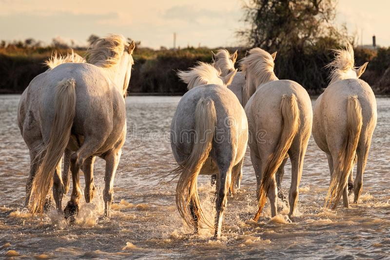 White horses in Camargue, France stock photos