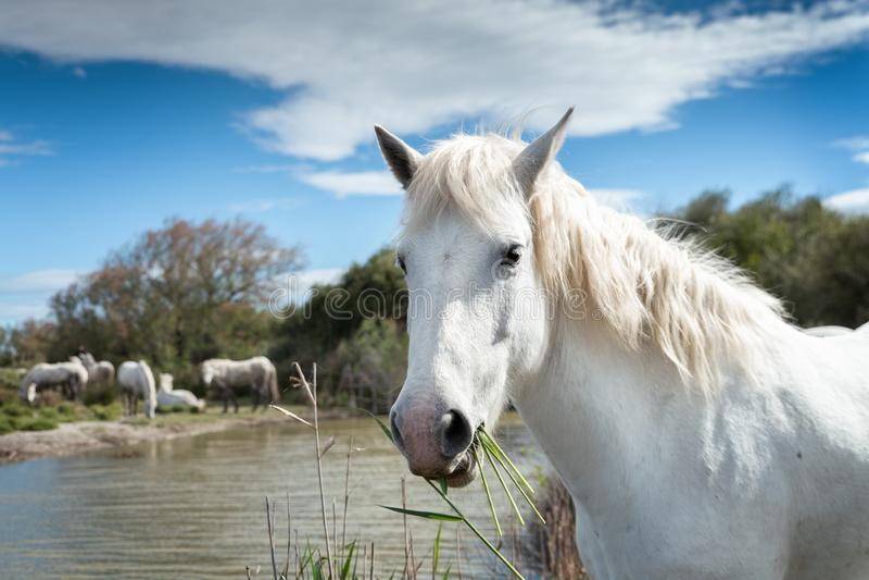 White horses in Camargue stock image