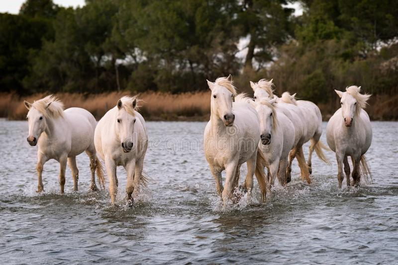White horses in Camargue, France royalty free stock photos