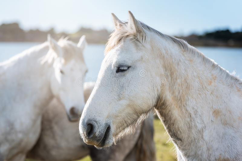 White horses in Camargue royalty free stock image