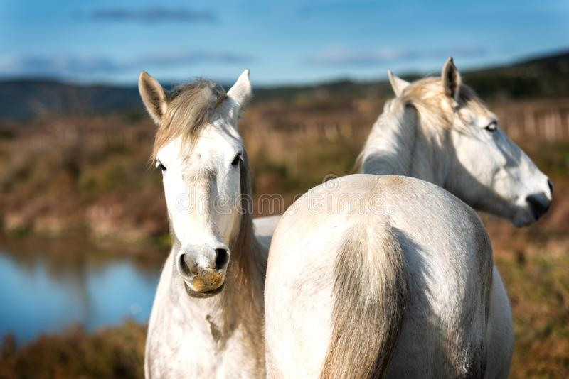 White horses in Camargue stock photography