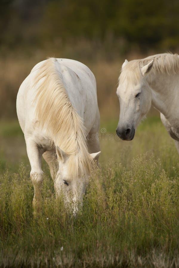 White horses of Camargue, Provence, France stock photography