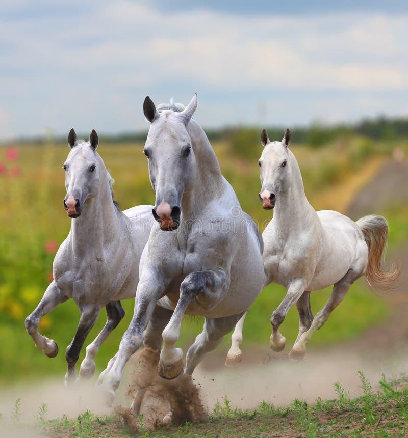 White horses in dust stock images