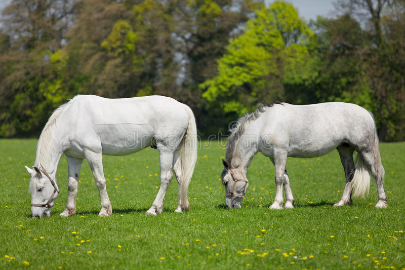 White horses eating fresh grass on a field stock images