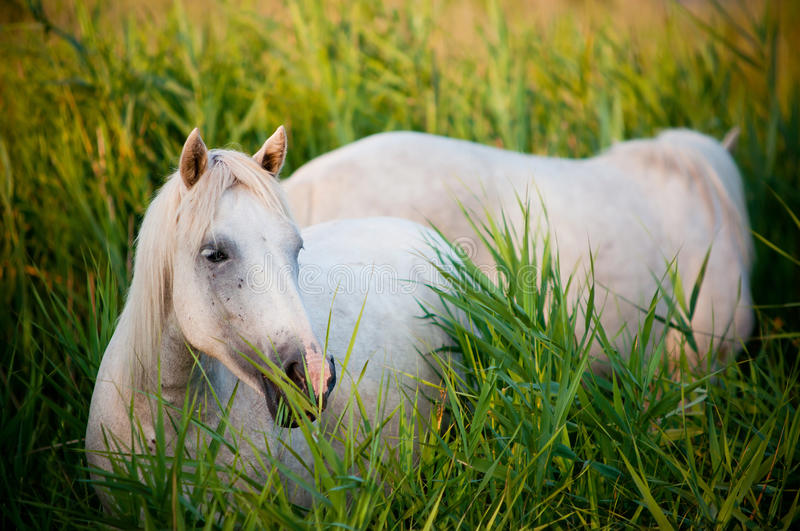 White horses eating grass royalty free stock photo