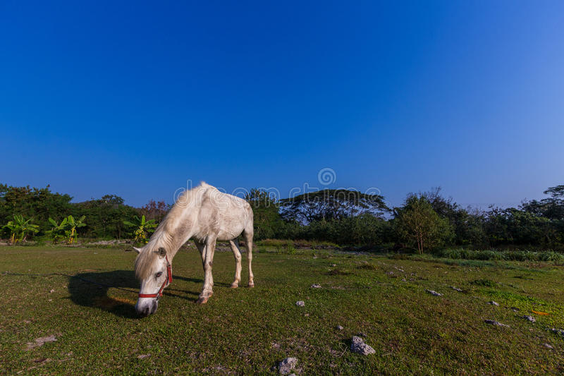 White horses in the field. White horses eating gress in the field stock images