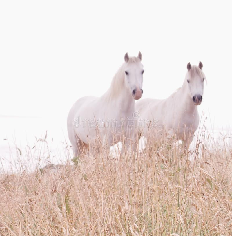 Free White Horses In Soft Focus Stock Photos - 103185863