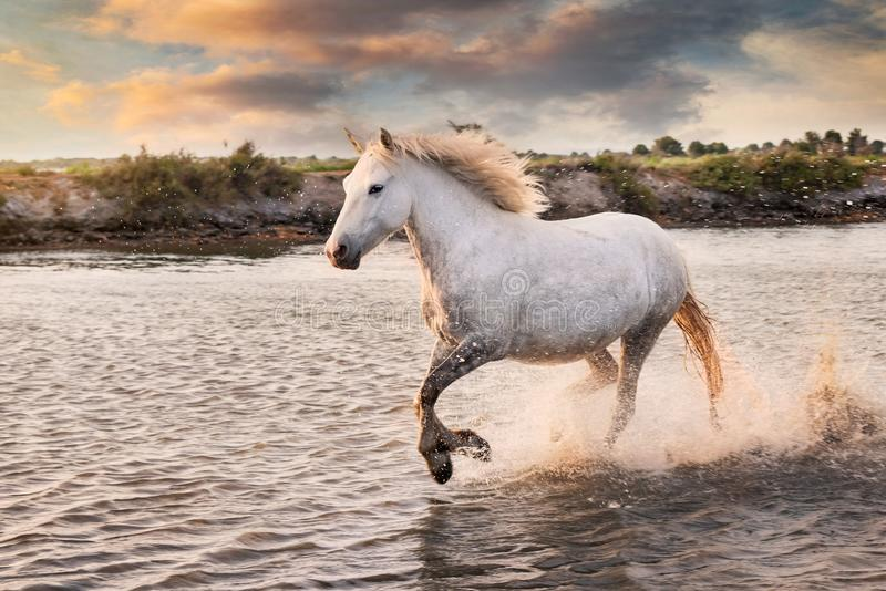 White horses are runing in the water stock photo