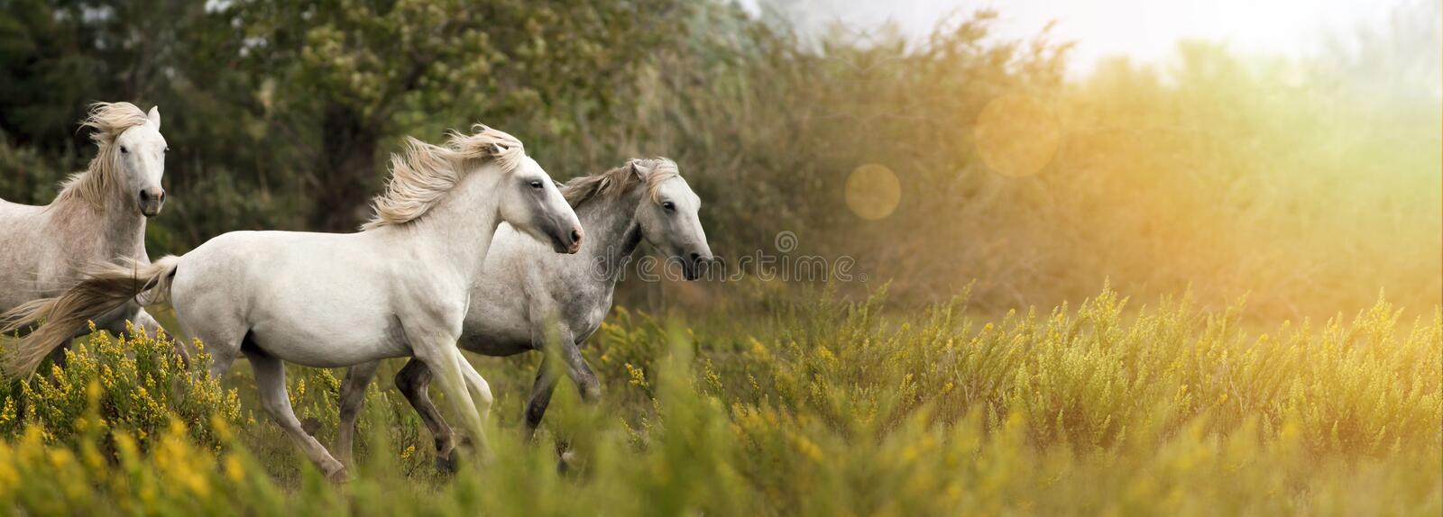 White horses running stock image