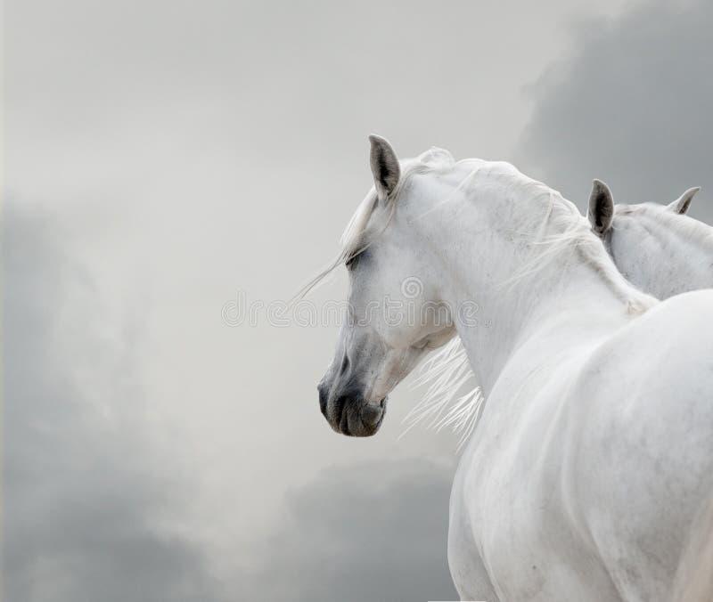 White horses stock photos