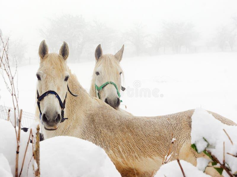 White horses on winter stock photos
