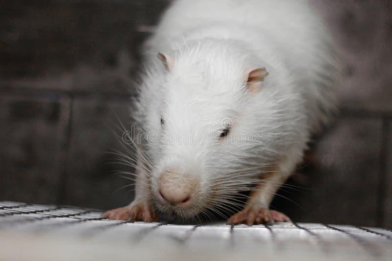 White huge nutria. Big white rat. Close up.  stock photos